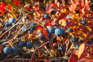 Много черной голубики на кустах с красными листьями залитые солнечным светом.  Many black blueberries on a bush with red leaves sunlit.