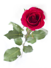 A perfect red rose on white background (isolated)