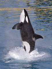 Wall Mural - Killer whale jumping out of water