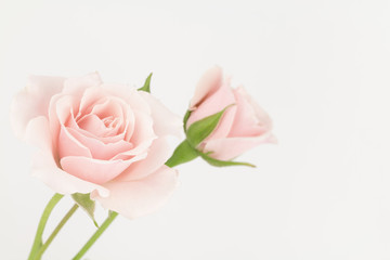 Two pastel pink roses