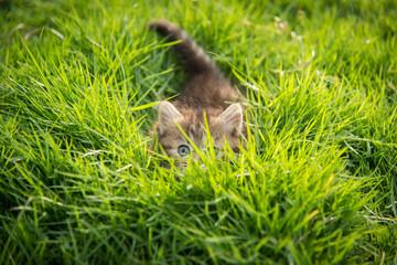 Cute tabby kitten hiding