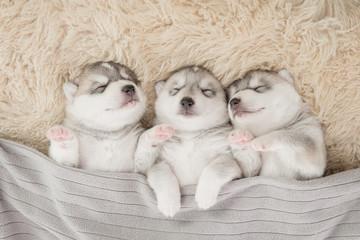 Three of siberian husky puppies sleeping