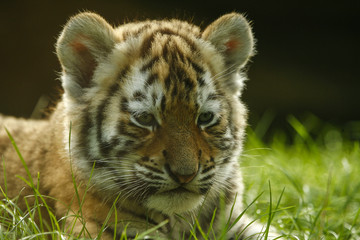 Wall Murals Tiger Kleine tijger welp ligt in het gras.