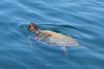 caretta loggerhead sea turtle