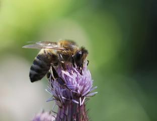 Biene beim besteuben