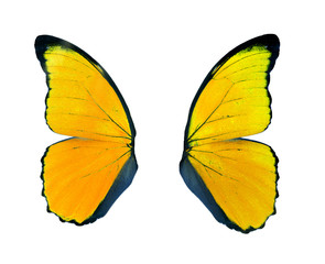 Yellow butterfly wing isolated on white background.