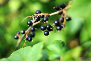 Ягоды черной смородины в летнем саду