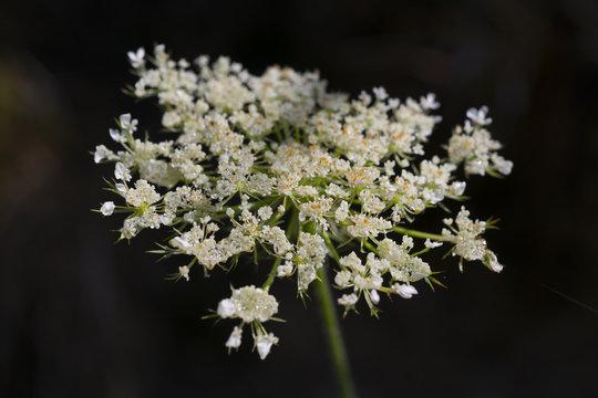 Weiße Holunderblüte