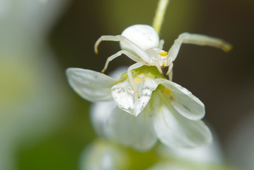 Spider sitting on a small white flower. Macro photo.