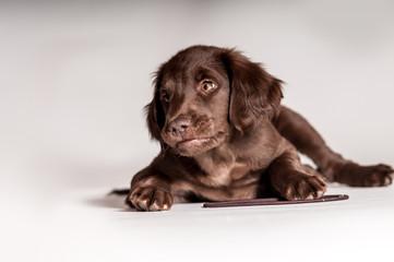 süßer brauner Hundewelpe liegt mit Spielzeug und schaut zur Seite