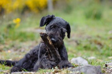Black Dog and a Stick