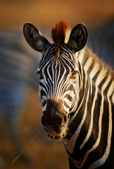 Zebra portrait close-up
