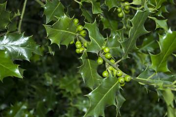 Stechpalme, Ilex Zweige, Pflanze mit grünen Beeren