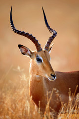 Impala male portrait