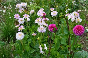 Dahlien blühen im Sommergarten