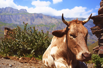 cow in the mountain