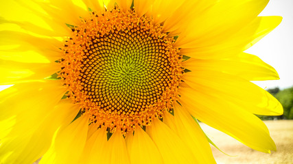 Big blooming sunflower as background