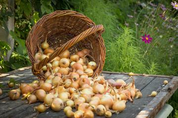 Obraz Freshly harvested onions spilling on an old wooden table top, ne - fototapety do salonu