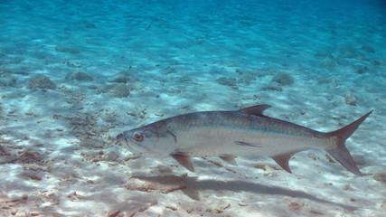 Tarpon with remora in Bonaire