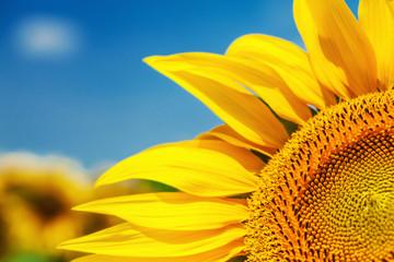 Close up of beautiful sunflower fild