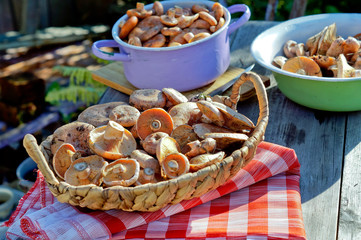 Mushrooms Lactarius deliciosus for cooking on the table outdoors