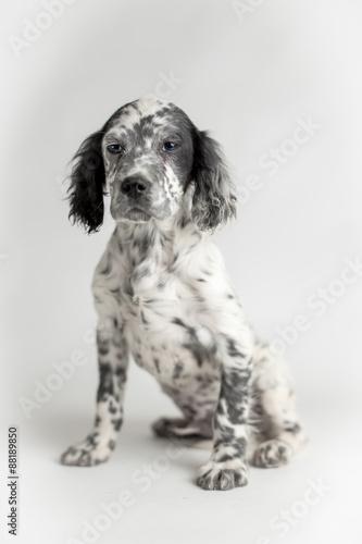 Ritratto di un cucciolo di cane setter inglese bianco e for Cane setter