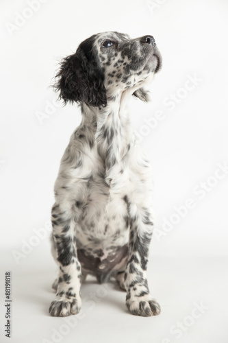 Ritratto Di Un Cucciolo Di Cane Setter Inglese Bianco E Nero
