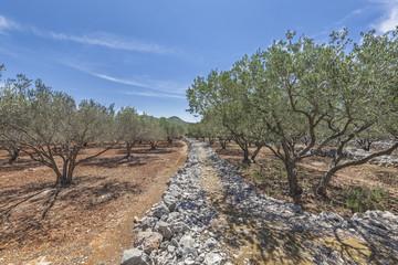 Olive grove on island Korcula in Dalmatia, Croatia