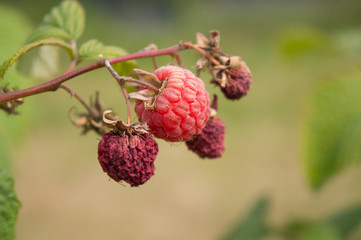 Raspberries, Dried on the Bush