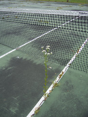 Daisy growing in a crack of a decaying tennis court