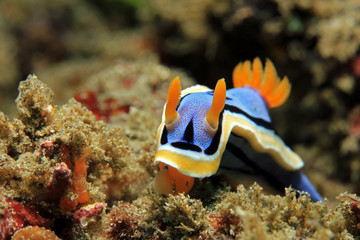Anna's Magnificent Slug (Chromodoris Annae) from Front. Padang Bai, Bali, Indonesia