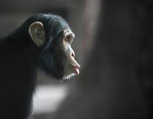 Surprised chimpanzee