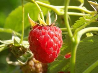 Raspberry on bush