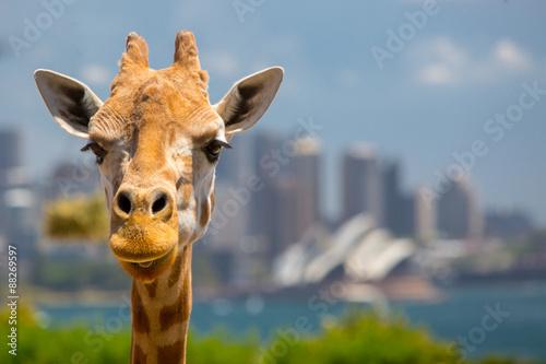 Taronga Zoo Giraffes