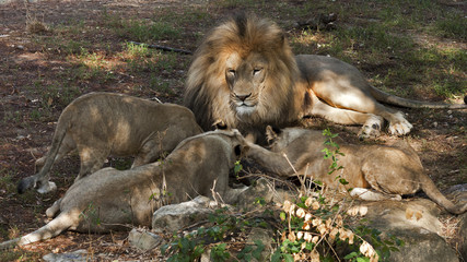Adult male African lion relaxing with cubs