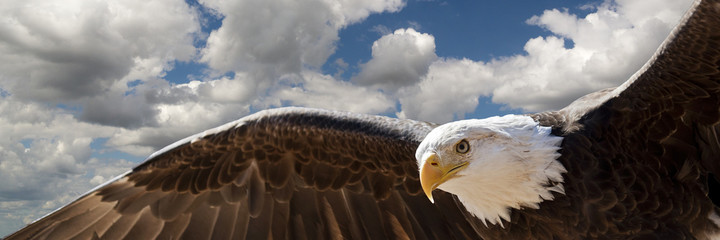 Wall Murals Eagle composite of a bald eagle flying in a cloudy sky