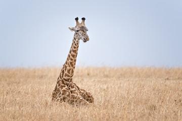 Adult Masai Giraffe