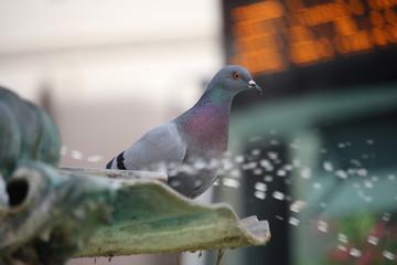 Eine Taube am Brunnen in Eichstätt BY