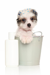 Chinese Crested puppy in the bath bucket