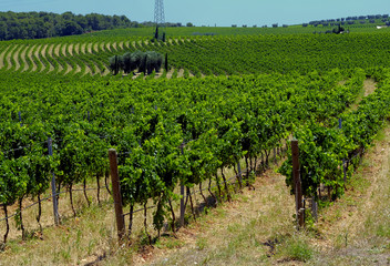 Summer landscape in apulia Italy, with vineyards