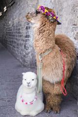 Alpaca in dali china.
