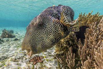 Map puffer (Arothron mappa) feeding on sponges on the house reef on Sebayur Island, Komodo Island National Park, Indonesia, Southeast Asia, Asia