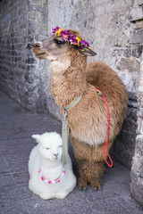Alpaca in dali china.