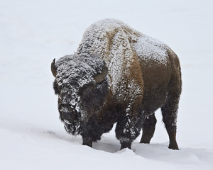 Bison (Bison bison) bull covered with snow in the winter, Yellowstone National Park, Wyoming