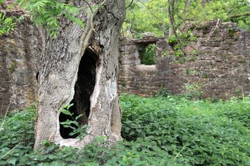 Hohler Baum in Ruine