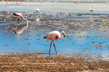 Pink flamingo in Lake , Bolivia