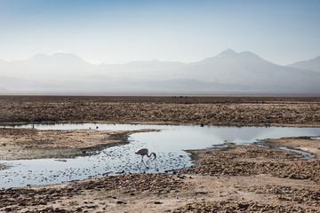 Flamingo standing in water at Laguna de Chaxa (Chaxa Lake) at dawn, San Pedro, Chile, South America