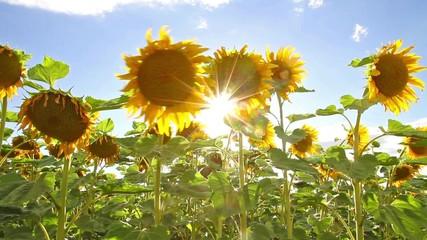 Wall Mural - Bright sun in a sunflower field