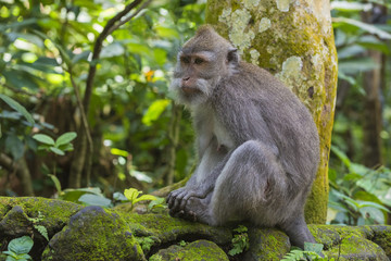 Long-tailed macaque (crab-eating macaque) (Macaca fascicularis), Sacred Monkey Forest, Ubud, Bali, Indonesia, Southeast Asia, Asia