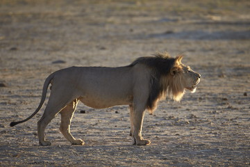 Lion (Panthera leo) roaring, Kgalagadi Transfrontier Park, encompassing the former Kalahari Gemsbok National Park, South Africa, Africa